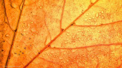 Makroaufnahme der Struktur eines gelb gefärbten Blatts im Herbst.