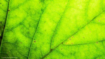 Makroaufnahme der Struktur eines grün gefärbten Blatts im Herbst.