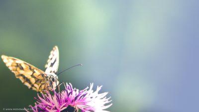 Großaufnahme eines Schmetterlings auf einer lila Blüte.