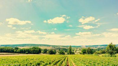 Ein Weinberg, kurz vor der Ernte, vor einem Himmel mit Schäfchenwolken.