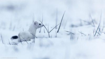 Ein Wiesel, der sich im Schnee vom Fotografen weg bewegt.