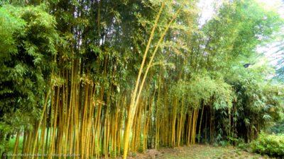 Eine Hecke aus hochgewachsenen Bambuspflanzen