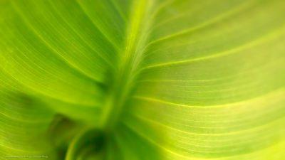Naufnahme eines grünen Blattes.
