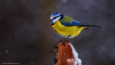 Eine farbenfrohe Blaumeise, die auf einem Stück Holz sitzt, während Schnee zur Erde rieselt.
