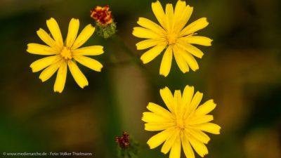 Drei Blumen, deren Blüten wie Sonnenstrahlen aussehen.