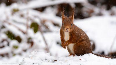 Ein neugieriges Eichhörnchen, dass in einer Winterlandschaft unterwegs ist.