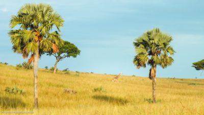 Eine Giraffe, die ganz allein über ein Grasfeld geht.