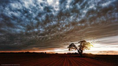 Ein einsam stehender Baum mit einem Baumhaus drin, auf einem umgepflügten Feld. Einige Vogelschwärme fliegen um den Baum herum, vor einem dramatisch anmutenden Himmel.