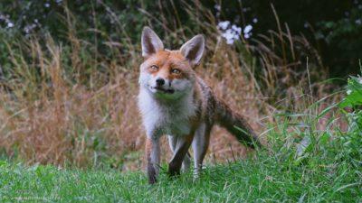 Ein großer Fuchs, der auf einer grünen Sommerwiese unterwegs ist.