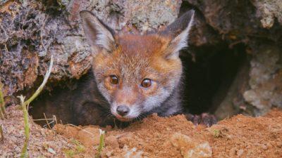 Ein kleiner Fuchs, der neugierig aus seinem Bau schaut.