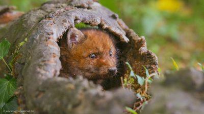 Ein kleiner Fuchs, der aus einem ausgehölten Baumstamm heraus schaut.