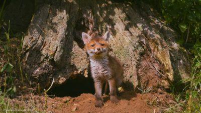 Ein Fuchs Welpe, dass die sonnige Welt vor seinem Bau erkundet.