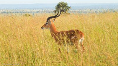 Eine Gazelle im hohen Gras der afrikanischen Savanne.