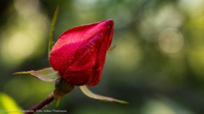 Eine noch geschlossene Rosenblume vor einem sanft-grünem Hintergrund.