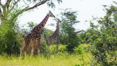 Einige Giraffen beim Essen.