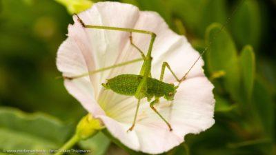 Nahaufnahme von einem Grashüpfer, der auf einer weißen Blume sitzt.