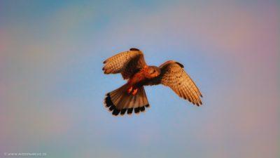 Ein Greifvogel im Flug, der seine Beute im Visier zu haben scheint.