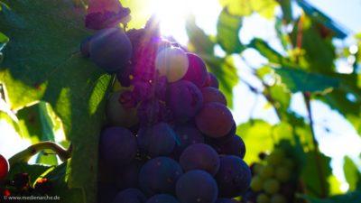 Ein Rebstock an dem verschiedene Weintrauben hängen, zum teil bereits vertrocknet, zum Teil reif und saftig.