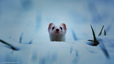 Ein Wiesel, der neugierig hinter einer Schneeerhebung hervor schaut und den Betrachter direkt ansieht.