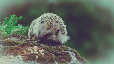 Ein Igel, der auf einem Moosbewachsenen Felsen sitzt.