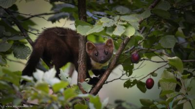 Ein neugieriger Marder der durch die Astgabel eines Pflaumenbaums durchschaut.