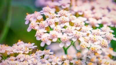 Blüten einer Blume, die in sich selbst kleine Blumensträuße darstellen.