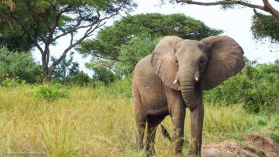 Ein junger Elefant, der neugierig in die Kamera blickt.