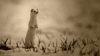 Aufrecht stehender Wiesel, der sich neugierig umsieht.