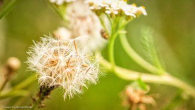 Nahaufnahme einer Pusteblume mit einer kleinen Mücke.