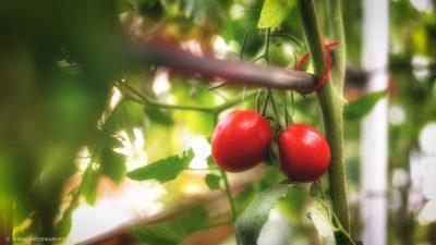 Zwei reife Tomaten, bereit zur Ernte.