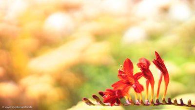 Nahaufnahme von einer roten Blume an einem Sommertag.