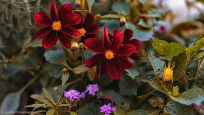Ausschnitt eines Beetes, in dem schöne bunte Blumen wachsen.