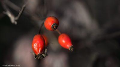 Leuchtend rote Hagebutten, die sich von einem entsättigtem Hintergrund besonders abheben.