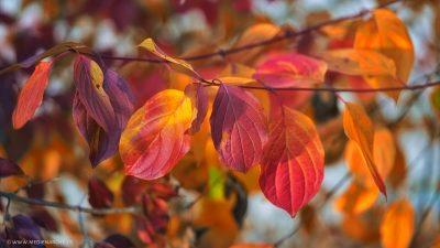 Eine Reihe von leuchtend bunten Herbstblättern an dünnen Zweigen.