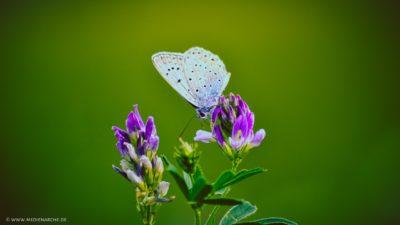 Großaufnahme eines Schmetterlings auf kleinen lila Blüten.