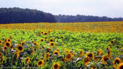 Ein Sonnenblumenfeld im Sonnenlicht