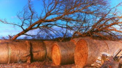 In der warmen Herbstsonne liegende Heuballen vor kahlen, windschiefen Bäumen.