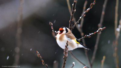 Ein kleiner Stieglitz, der bei Schnee auf dem Zweig eines Strauches sitzt.