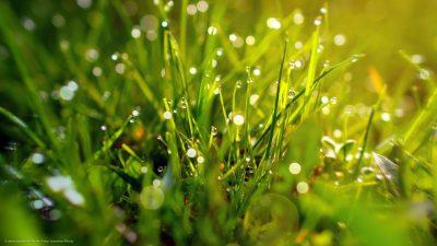 Nahaufnahme einiger Grasstengel, die von Tautropfen bedeckt sind.