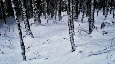 Ein Blick in den winterlichen Wald mit lauter kahlen Baumstämmen, der Boden mit einer Schneedecke bedeckt.