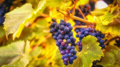 Reifende Weintrauben an der Rebe im warmen Sonnenlicht