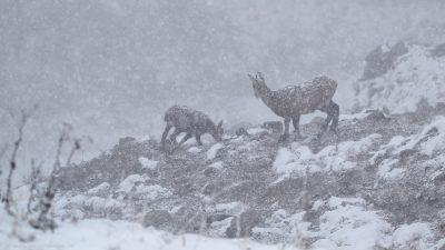 Zwei Bergziegen die mitten in einem Schneesturm zwischen Steinen und Felsen unterwegs sind.